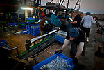Fishermen of the Yasoor fishing boat unload their catch at the Jaffa Port, early Monday morning  June 17 2013. Over fishing pollution and man interfering with nature are the main reasons for depleting marine life in the Israeli Mediterranean. Photo by Eyal Warshavsky