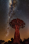 Quiver tree or kokerboom (Aloe dichotoma) and Milky Way, !Karas Region, Namibia<br /> <br /> Quiver trees, members of the succulent aloe family, are particularly well adapted to surviving in the harsh conditions of Namibia's southern desert. The plant stores water in its trunk and has spongy wood. Here, I used a small red flashlight to light detail on the otherwise silhouetted tree under a brilliantly starry canopy.