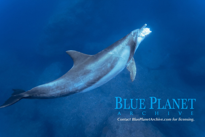 Indo-Pacific bottlenose dolphin, Tursiops aduncus, eating fish, Chichi-jima, Bonin Islands, Ogasawara Islands, Japan, Pacific Ocean