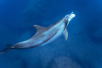 Indo-Pacific bottlenose dolphin, Tursiops aduncus, eating fish, Chichi-jima, Bonin Islands, Ogasawara Islands, Japan, Pacific Ocean