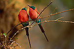 Named for their exquisite flame coloring, a pair of southern carmine bee-eaters share a perch from which they will alternate periods of resting and hunting for flying insects.