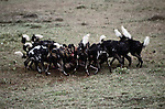 In less than fifteen minutes after first contact, a large pack of wild dogs reduces and entire wildebeest to a few bloody bones.