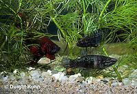 BY04-003z  Siamese Fighting Fish - male chasing females away from nest - Betta splendens