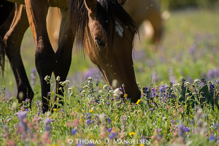 A wild horse grazes in a field of wildflowers in the Pryor Mountains, Montana.