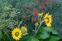 Arrowleaf balsamroot and Columbia desert parsley<br /> Mayer State Park<br /> Highway 30,  Columbia River Gorge<br /> Wasco County,  Oregon