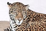 jaguar laying on large boulder looking at camera, medium shot of face and shoulders