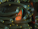 clownfish showing its teeth in anemone, Bohol, Philippines 2016