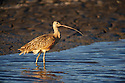 A long-billed curlew wades on the edge of a mudflat.