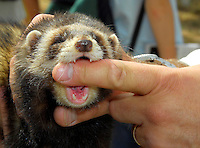 Putting a finger in a ferret's mouth to demonstrate it's reluctance to bite a human at CLA Game Fair.