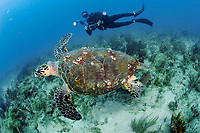 Scuba diver and Hawksbill Sea Turtle, Eretmochelys imbricata, in Palm Beach County, Florida, Atlantic