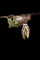 Indian Moon Moth / Indian Luna Moth {Actias selen} emerging from cocoon.  Captive. Sequence 9 of 24. website