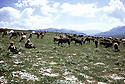 Irak 1973.Printemps dans le Badinan, kurdes avec le troupeau.Iraq 1973.Spring in Badinan, Kurds with cows in the field