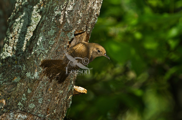 House Wren (Troglodytes aedon) at nest hole.  Found throughout most of North America.