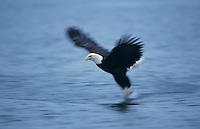 Bald Eagle, Haliaeetus leucocephalus,adult in flight, Homer, Alaska, USA, March 2000