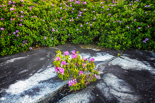 Rhododendron and sandstone, Channels Natural Area Preserve