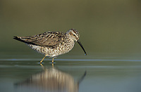 Stilt Sandpiper, Calidris himantopus, adult spring plumage, Welder Wildlife Refuge, Sinton, Texas, USA