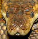 Golden Python
