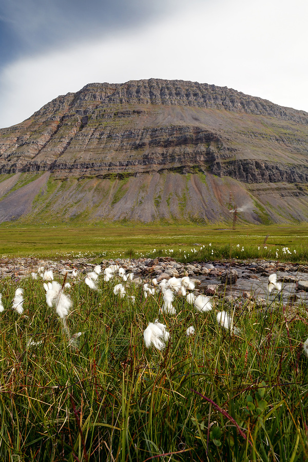 Wildflower meadow in Seljalandsdalur valley, West Iceland, Iceland