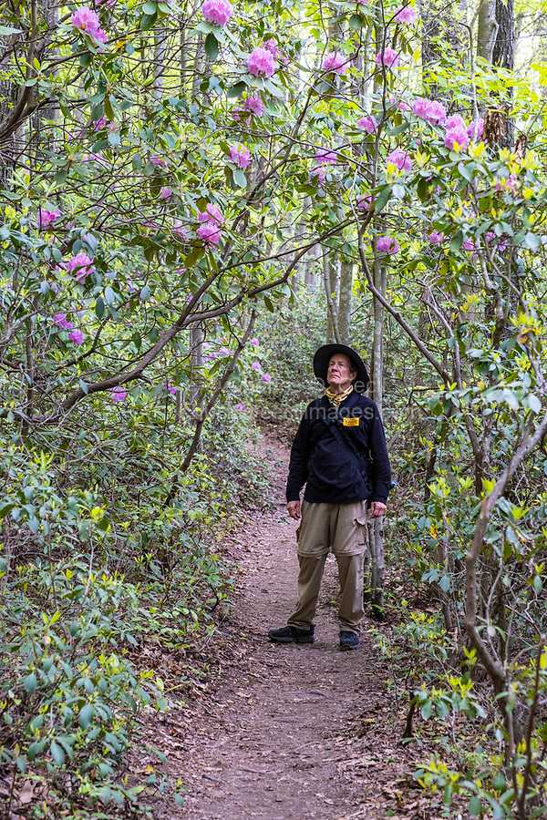 New River Gorge National Park, West Virginia.  Hiker Admiring Rhododendron along the Endless Wall Trail.