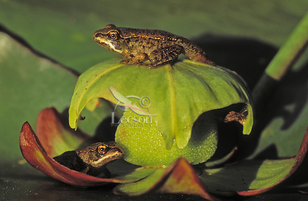 Wood Frog froglets on lily pad ( Rana sylvatica).  Most northerly amphibian in the world and most widespread amphibian in North America.  Nova Scotia, Canada.