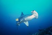 Scalloped Hammerhead Shark, Sphyrna lewini, being cleaned by a Barberfish, Johnrandallia nigrirostris, Alcyone, Cocos Island, Costa Rica, Pacific Ocean