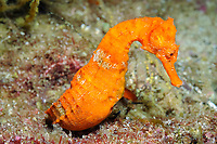 Pacific seahorse (scientific name: Hippocampus ingens), fish, Galapagos archipelago, Ecuador, east Pacific Ocean Curl tail around branches of gorgonians and black coral trees, camoufling within their branches.