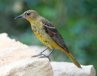 Adult female hooded oriole after a bath