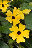 Thunbergia Charles Star annual vine, gold with dark center, climbing flowers