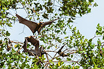 Straw-coloured fruit bats (Eidolon helvum) taking off from daytime roost in 'Mushitu' (ever-green swamp forest). Kasanka National Park, Zambia.