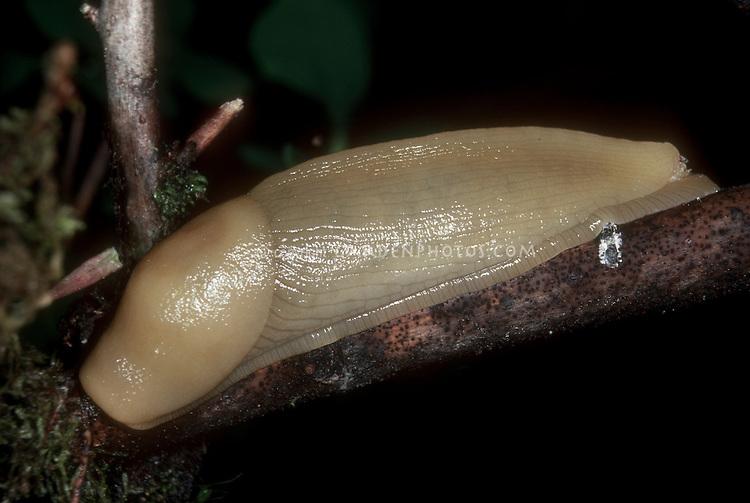 Pacific Banana Slug Ariolimax columbianus insect chewing pest