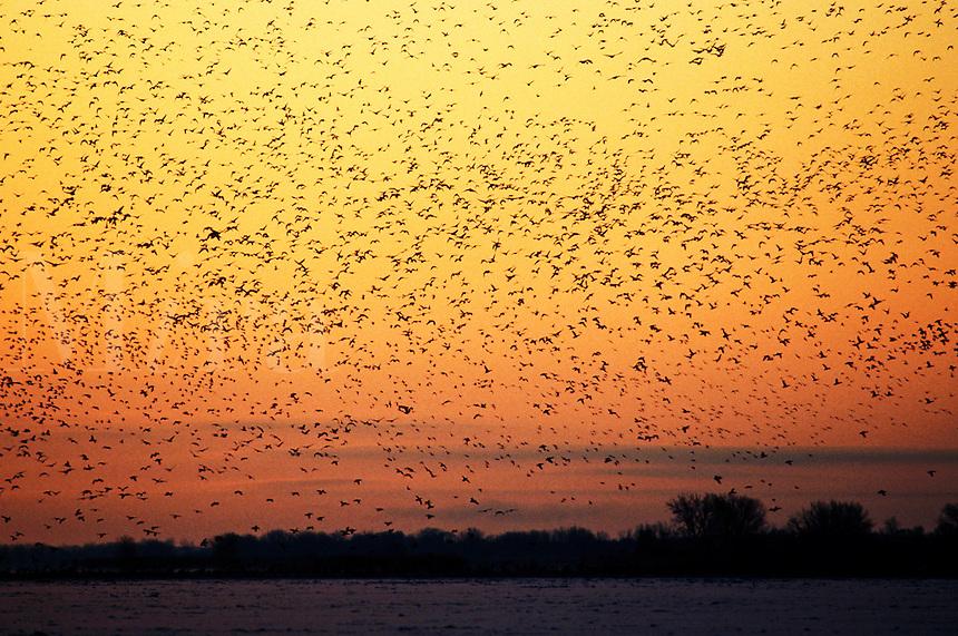 A flock of ducks in flight at dawn.