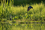 Damon, Texas; a little blue heron flying with a red crawfish in its beak over the surface of the slough in late afternoon sunlight