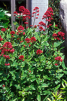 Red flowers and green foliage of perennial summer-blooming Jupiter's Beard, Centranthus ruber