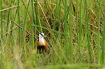 African jacana (Actophilornis africanus), Kwara Reserve, Okavango Delta, Botswana