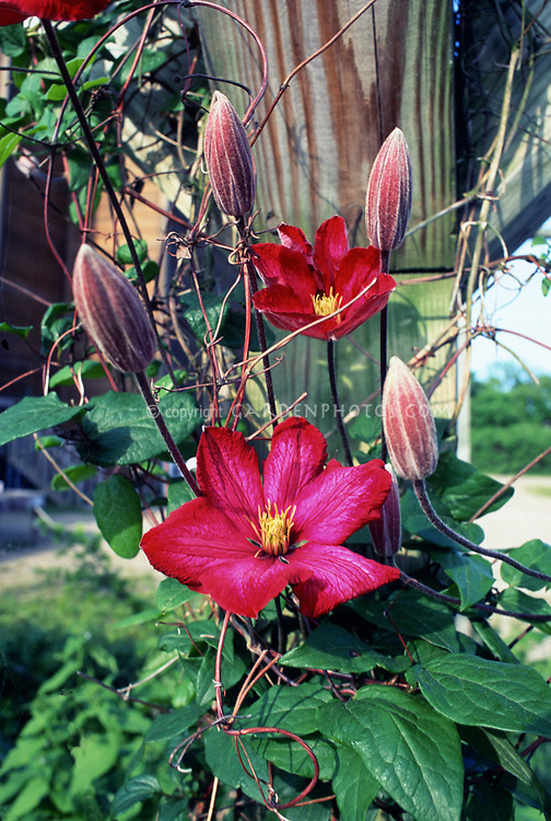 Clematis 'Niobe', red flowered climbing vine, on arbor pole support