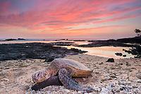 green sea turtle, Chelonia mydas, resting on beach at sunset, Kailua Kona, Big Island, Hawaii, USA, Pacific Ocean