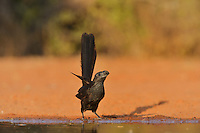 Groove-billed Ani (Crotophaga sulcirostris), adult drinking, Rio Grande Valley, South Texas, Texas, USA