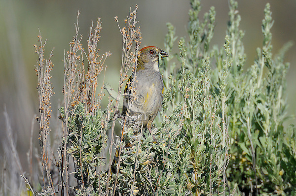 Green-tailed Towhee (Pipilo chlorurus) with green worm.  Western U.S., summer.