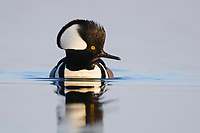 Adult male Hooded Merganser (Lophodytes cucullatus) in breeding plumage. Montezuma NWR, New York. March.