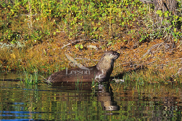 North American River Otter (Lontra canadensis).  Western U.S., Sept.