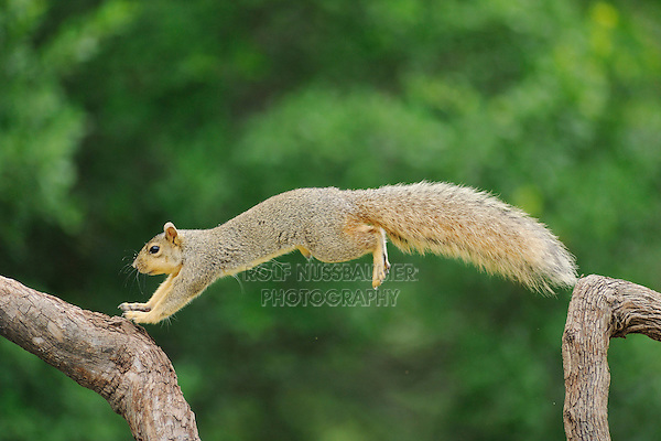 Eastern Fox Squirrel (Sciurus niger), male jumping, Fennessey Ranch, Refugio, Coastal Bend, Texas Coast, USA