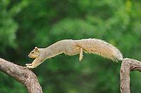 Eastern Fox Squirrel (Sciurus niger), male jumping, Fennessey Ranch, Refugio, Coastal Bend, Texas Coast, USA