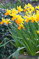 Narcissus 'Jetfire' daffodil spring bulbs in pot container