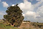 Israel, Lower Galilee. Cypress tree (Cupressus sempervirens) in Ilania