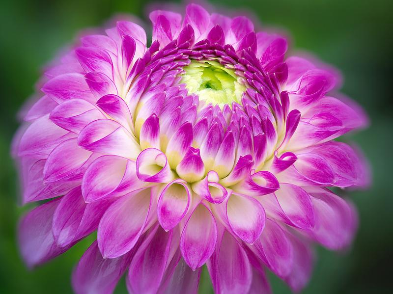 Close up of Dahlia variety Test Garden. Oregon