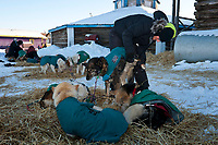 Volunteer veterinarian Ruth Kothe from Germany  examines Michelle Phillps dogs at the Kaltag checkpoint during the 2010 Iditarod