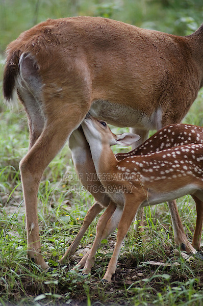 White-tailed Deer, Odocoileus virginianus, Mother with twin fawns suckling, Comal County, Hill Country, Texas, USA