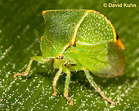 1109-0811  Buffalo Treehopper, Ceresa alta © David Kuhn/Dwight Kuhn Photography.