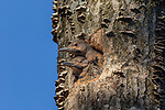 Northern flicker nestlings  in northern Wisconsin.