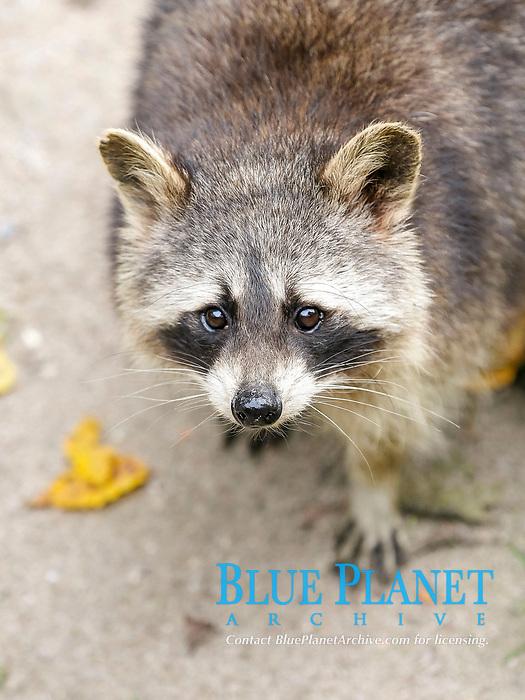 Raccoon (Procyon lotor), Baden-Württemberg, Germany, Europe